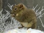 微视频:超可爱松鼠!雪地觅食萌翻游人