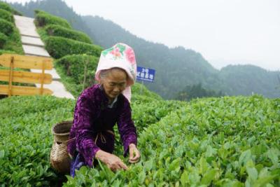 喜茶携手支付宝开启消费捐,爱心助力贵州雷山茶农