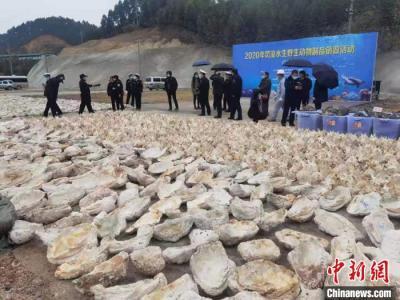 60余吨玳瑁等罚没水生野生动物制品在广西集中销毁
