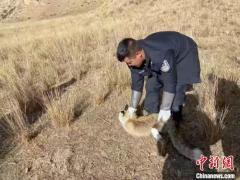 青海:电力员工救助野生狐狸现已放归自然