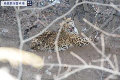 山西侦破一起非法狩猎案,解救一只国家一级保护动物金钱豹