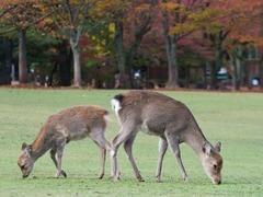 日本一男子泄怒砍杀奈良鹿遭警方逮捕