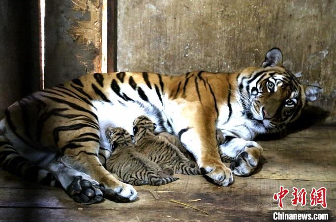 """图为洛阳市王城公园内,虎妈""""南南""""和自己的虎宝宝。洛阳市王城公园供图"""