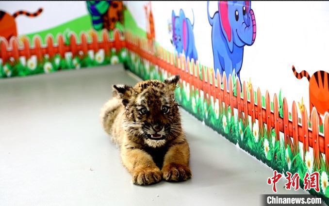 图为洛阳市王城公园内,华南虎四胞胎中人工育幼的小虎性格十分活泼好动。洛阳市王城公园供图