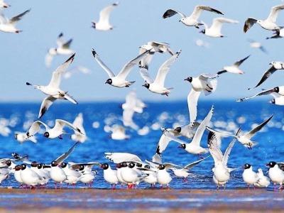 中国最大内陆咸水湖引40万只水鸟翔集