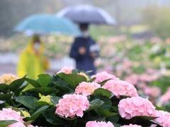 韩国济州岛绣球花盛开