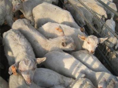 黑龙江发生疑似羊炭疽疫情 已有 1 名疑似病例