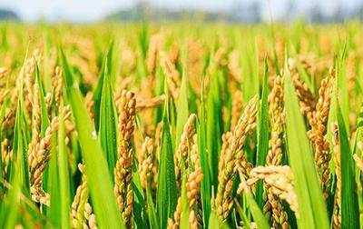青岛试种海水稻成功:理论亩产量669公斤,实打261公斤