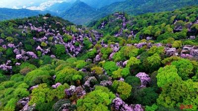 最是一年春好处,梧桐山上赏花去 !毛棉杜鹃花会开幕啦