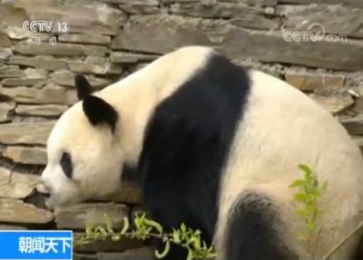 """20岁大熊猫""""园园""""将启程前往奥地利生活4年"""