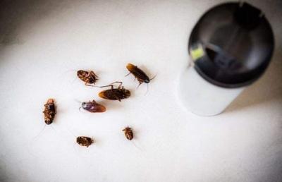 灭蟑螂越来越难!英媒称蟑螂耐药性可快速增强4到6倍