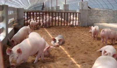 """广东给市长定""""养猪任务"""":生猪最低出栏是硬指标"""