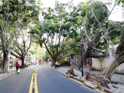 福田30條道路擬整體更換行道樹 城管部門舉行聽證會收集意見