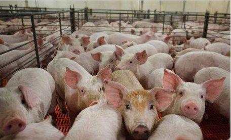 14天连开3场高级别会议发8大通知,官方力促生猪生产恢复