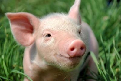 农业农村部副部长:各省政府对稳定本地生猪生产负总责