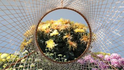 風和日麗,東湖公園6.6萬余盆菊花爭奇斗艷等你來看