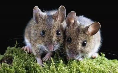 北京通报两名鼠疫患者近况,广东居民需要担心吗?权威解答来了