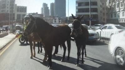大中午,5匹騾子跑上龍崗街頭還踢壞花盆!