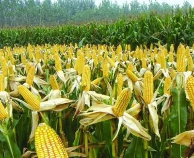 """中国科学家创建最大转座子插入资源库,玉米""""颜值""""受它影响"""