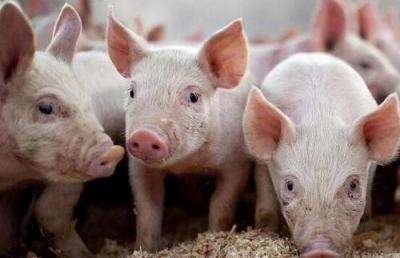 廣東出臺意見:加快推進生豬家禽產業轉型升級