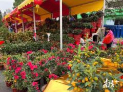 行花街,年味濃!廣州傳統迎春花市全面開啟