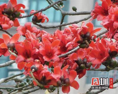 疫散花开,一起来邂逅深圳最美的园中四月天!