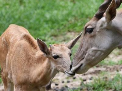 深圳野生動物園大羚羊萌寶滿月首次見客