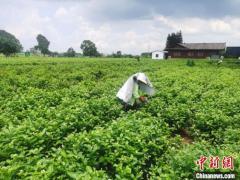 广西横县打造世界级茉莉花主题旅游目的地