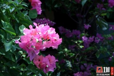 深圳有滋味第3期 花团锦簇的夏天,我在花卉世界迷了眼
