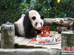 """现存世界上最年长圈养大熊猫""""新星""""迎38岁生日"""