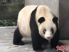 """熊猫""""老祖母""""冲刺长寿纪录"""