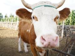 幸福花开新边疆 牛羊满圈跑、生活奔小康
