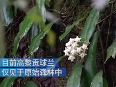云南发现植物新物种,被命名为高黎贡球兰