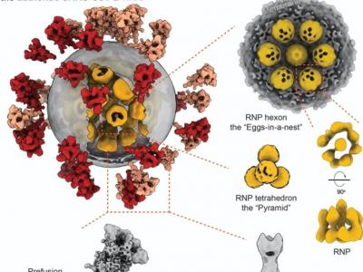 李蘭娟與清華李賽團隊聯合揭示國際首個新冠病毒全病毒精細結構