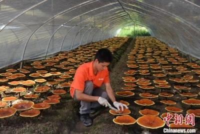 灵芝孢子粉国家标准进一步修订完善 采收及加工技术要求将更严格