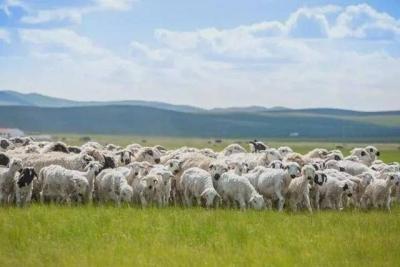 3万只羊正在赶来的路上!