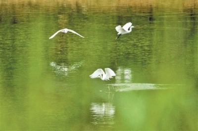 江门恩平:生态向好,翩翩白鹭入城来
