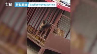 两只马犬互相配合越狱,网友:智商甩自己十条街