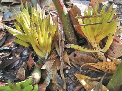 梧桐山记录到新植物!深圳首次发现匙苞姜