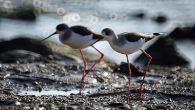 这个冬天,在深圳湾感受候鸟的栖息之美