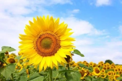 (光明)出游攻略 | 大观园2.7万㎡彩色向日葵~总有一朵适合你!