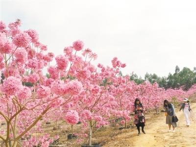 江门多地景点进入花季,赏花游线路火爆