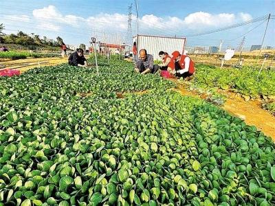 马田街道举办送温暖活动,采摘果蔬送留深过年员工