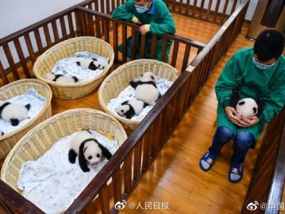 太可爱!中国大熊猫保护研究中心今年繁育15胎24崽